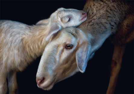 Photo © Pedro Jarque Krebs. All rights reserved. Page 164/165: Domestic sheep