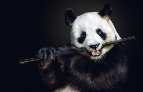 Photo © Pedro Jarque Krebs. All rights reserved. Page 112/113: Giant panda